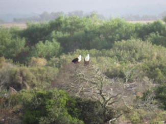 A pair of African Fish Eagles