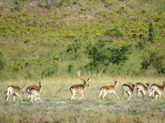 A fallow Deer Stag and his herd