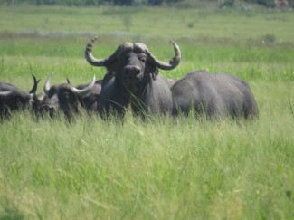 Buffalo-on-a-flood-Plain-in-Zimbabwe-africa-hunt