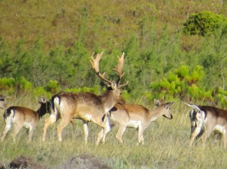 Fallow-Stag-in-Rut-with-his-herd-of-Does