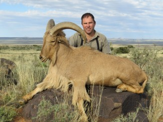 Barbary-Sheep---guided-hunt-in-South-Africa