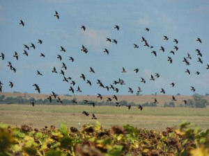 pigeon-shooting_south_africa_01