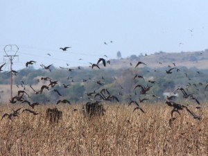 pigeon-shooting_south_africa_02